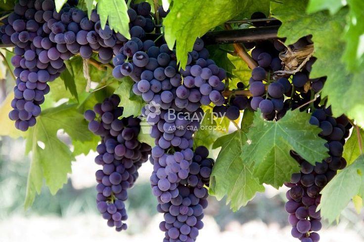 Выращивание винограда советы новичкам. Как правильно выбрать место и почву, посадить виноград и обеспечить уход, чтобы собирать отличный урожай.