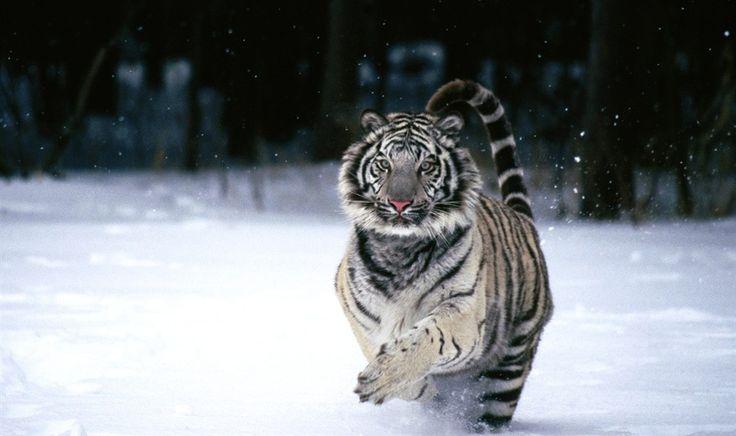 Tigre branco correndo na neve