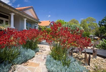 Banks of native Kangaroo Paw sits above the South African groundcover succulent, Blue Chalk Sticks, in the front garden of this renovated Edwardian villa. A mature Dragon tree, right, provides the main focal point in the garden.