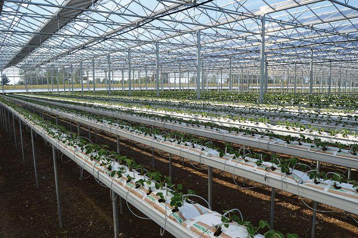 #coltivazione #fragola in #serra #fotovoltaica su #substrato di #cocco #perlite #Agripan - visita la pagina dedicata su http://www.perlite.it/it/agricoltura/piccoli-frutti-fuori-suolo/grow-bags-cocco-perlite-2-6