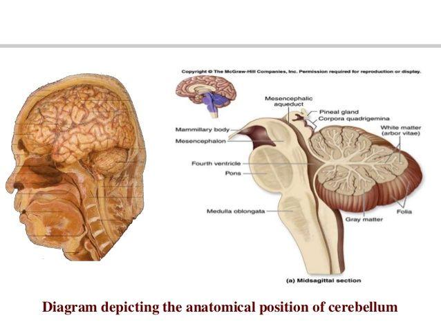 Pin by ♥ Marina on Medicine | Cerebellum anatomy, Anatomy ...