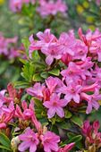 472410 - Rusty leaved alpen rose (Rhododendron ferrugineum)