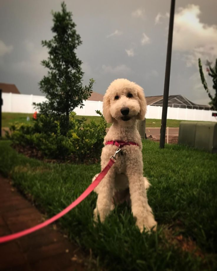 Well, my paws are still too big for my body, but I'm getting there. Enjoying the crazy Florida weather tonight! ���� #goldendoodlesofinstagram #goldendoodle #doodlelove #lily #sixmonths http://misstagram.com/ipost/1548229429371986805/?code=BV8anaQheN1