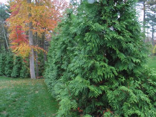Thoughts On Hybrid Willows Vs Thuja Green Giant