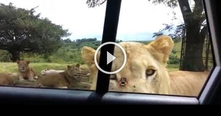 Girl Learns The Hard Way That Lions Are Crafty Assassins