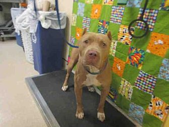 Pictures of Dog a Pit Bull Terrier for adoption in Jurupa Valley, CA who needs a loving home.