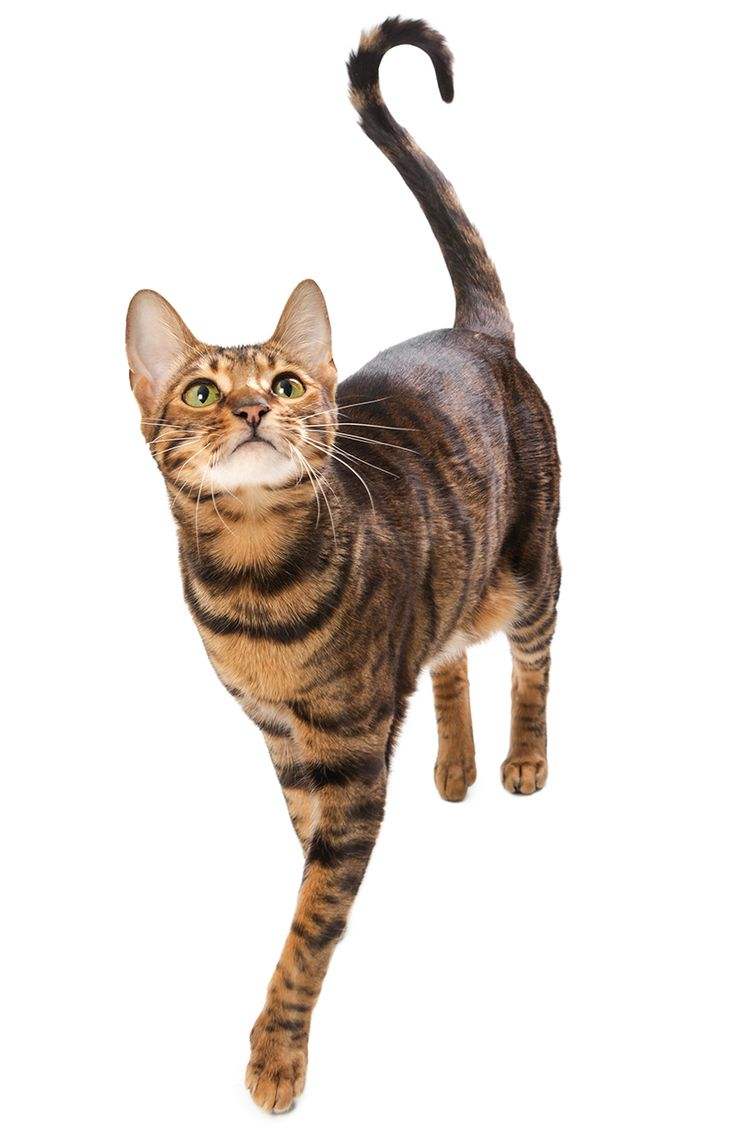 The 25 best Exotic cat breeds ideas on Pinterest