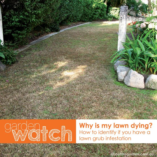 1000 images about lawn grub treatment on pinterest for Best grass for garden