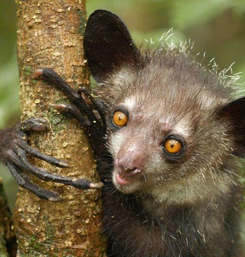 Aye Aye Facts, Information, Pictures and Videos Madagascar Animals - WILDLIFEPLANET.NET