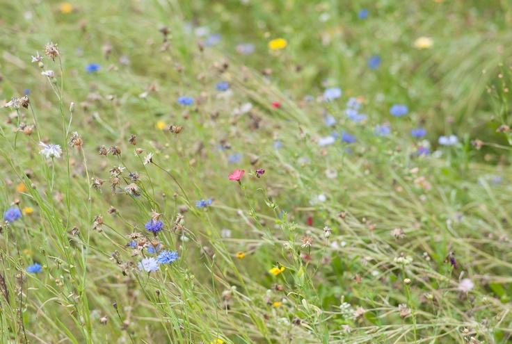 Variétés de fleurs dans nos prairies