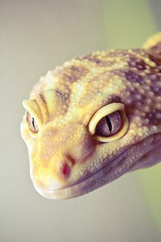 Leopard geckos have such expressive faces; from happy to silly, aloof to wise and ancient.