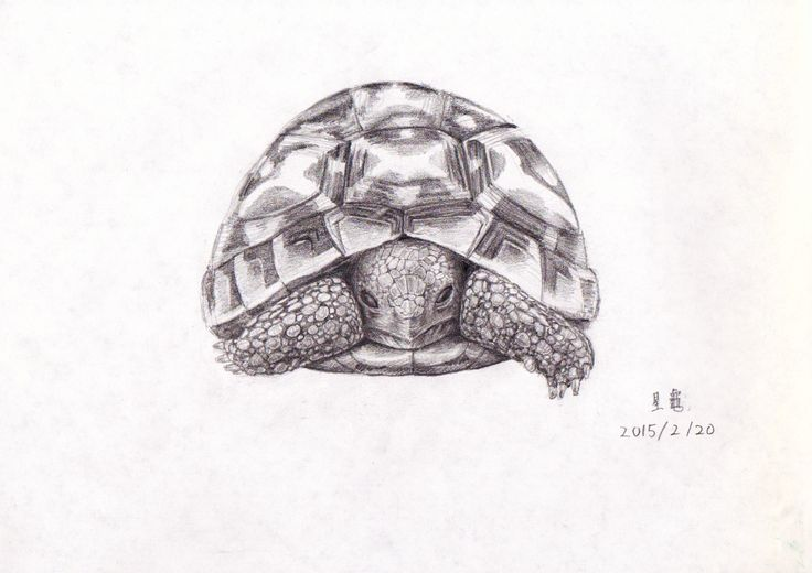 sketch tortoises                                                                                                                                                                                 Mehr