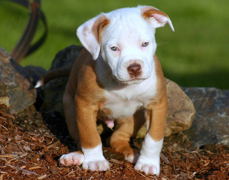 Red Nose Pitbull Puppies | Red nose PitBull puppy sitting ...