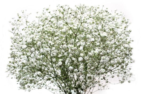 Buy wholesale Baby's Breath (Gypsophila) flowers in bulk. Perfect for bridal bouquets and wedding flower arrangements. Fresh cut flowers get free shipping.