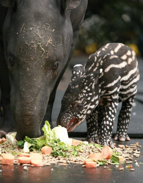 A Walking Watermelon?:Marjorie the Malayan Tapir at the Belfast Zoo via zooborns.com. Photo by Belfast Zoo. #Tapir #Belfast_Zoo