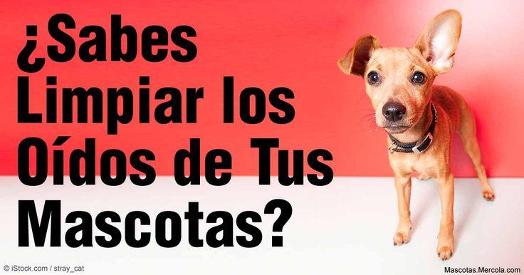 Trucos sencillos y eficaces que puedes utilizar para prevenir y tratar con seguridad los problemas de oído de tu mascota. http://mascotas.mercola.com/sitios/mascotas/archivo/2016/03/16/como-mantener-saludables-los-oidos-de-tu-mascota.aspx