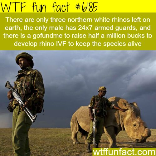 The last male northern white rhino in the world - WTF fun facts