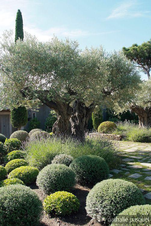 Jardin mediterraneen contemporain : olivier, Westringia, pittosporum nana, lavandes. Www.monjardin-materrasse.com