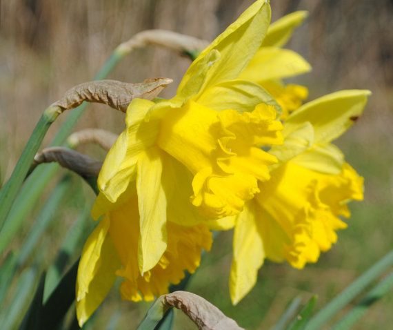 Digital download photography daffodil photo by Turtlesandpeace
