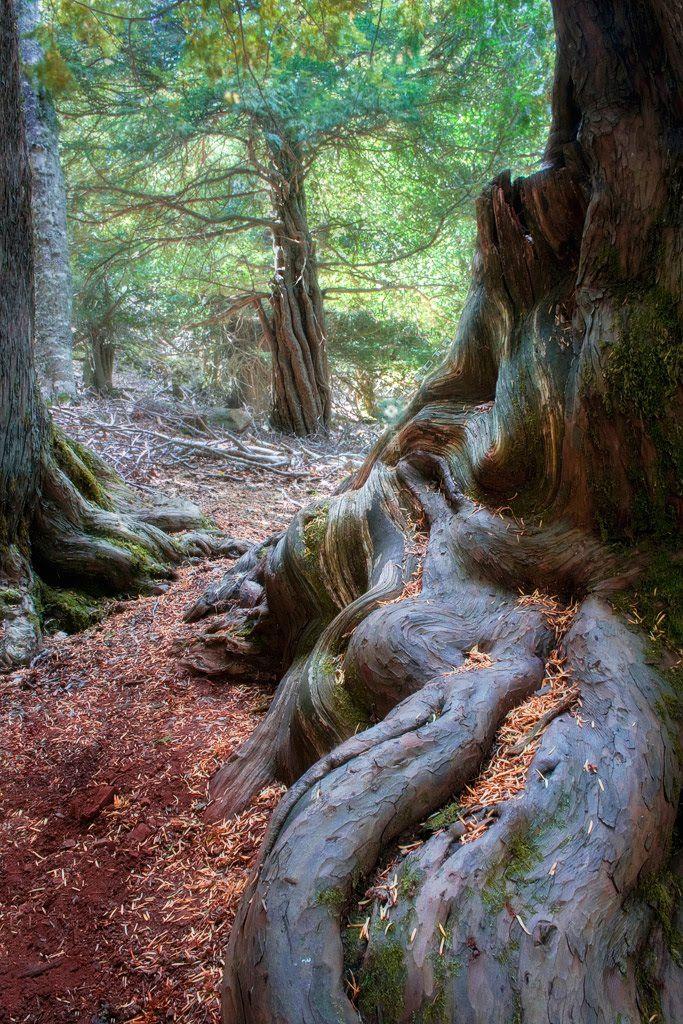 Entre TEJOS (Bosque mágico de los Druidas) Tejeda de Tosande - Dehesa de Montejo, Palencia, Spain
