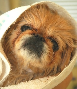"""Click visit site and Check out Best """"Pekingeses"""" T-shirts. This website is excellent. Tip: You can search """"your name"""" or """"your favorite shirts"""" at search bar on the top."""