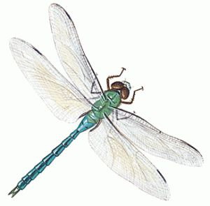 How To Draw a Dragonfly More