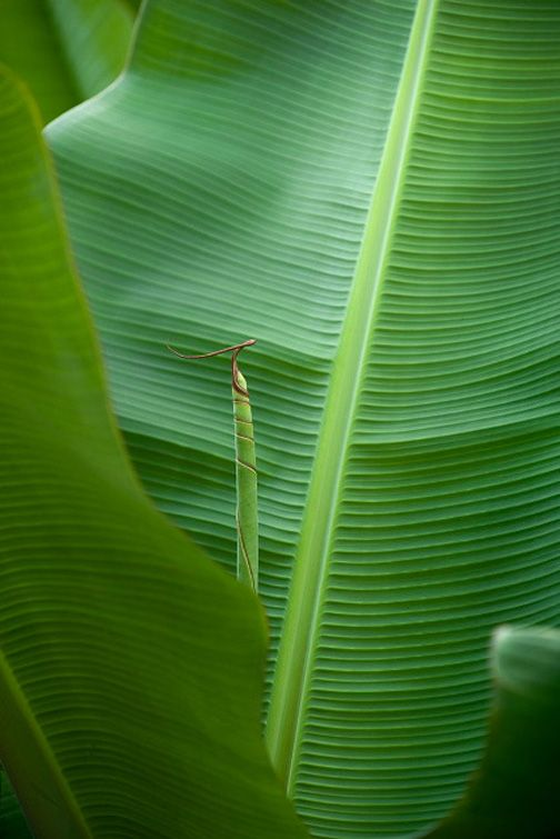 banana leaves         [via, Photos by Bernard Touilllon ]      From PlumSiena