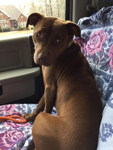 Check out Ivy's profile on AllPaws.com and help her get adopted! Ivy is an adorable Dog that needs a new home. https://www.allpaws.com/adopt-a-dog/american-pit-bull-terrier-mix-labrador-retriever/5902213?social_ref=pinterest