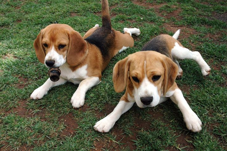 Beagle breed dog is a a progenitor of all the hunting dogs