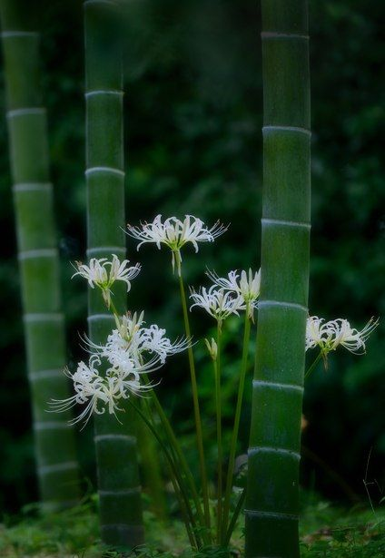 白秋と竹撮り物語。 | 植物 > 花・花びらの写真 | GANREF                              …