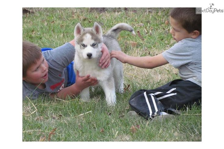 Meet Male a cute Siberian Husky puppy for sale for $450. AKC Simon *Price reduced!!**