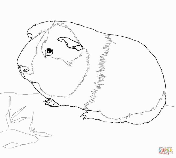 5441 best coloring pages images on pinterest coloring for Free guinea pig coloring pages
