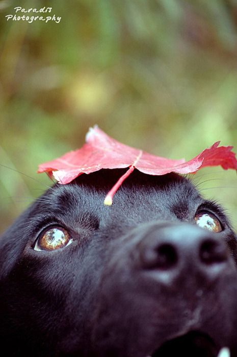 animal, black, cute, dog