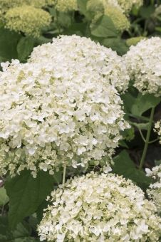 Monrovia's Seaside Serenade® Bar Harbor Hydrangea details and information. Learn more about Monrovia plants and best practices for best possible plant performance.