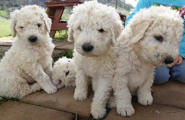 Komondor puppies are too cute!