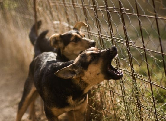 агрессивные лающие на всех собаки