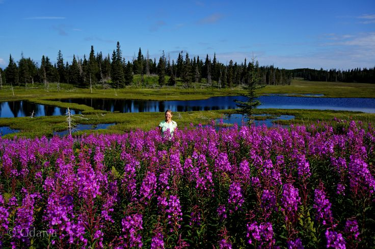 Collecting fireweed flowers for beautiful additions to tea mixes. Visit us to experience sustainable living, herbal walks and gourmet adventure
