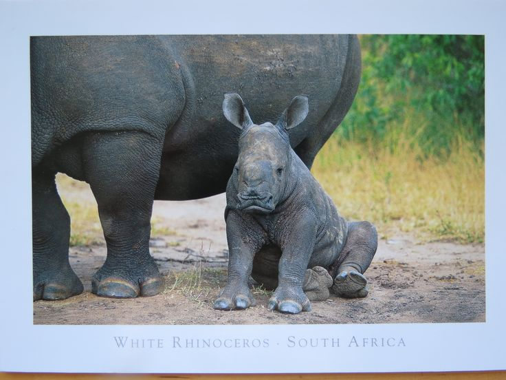 baby rhino with its mother in Botswana