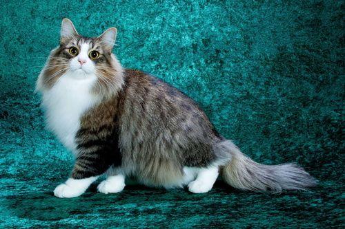 серые кошки - Поиск в Google