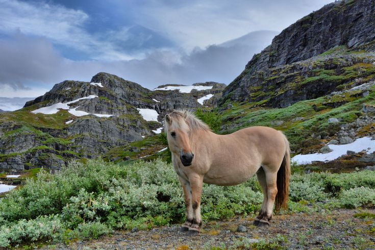 Fjord Horse, a traditional breed in west Norway