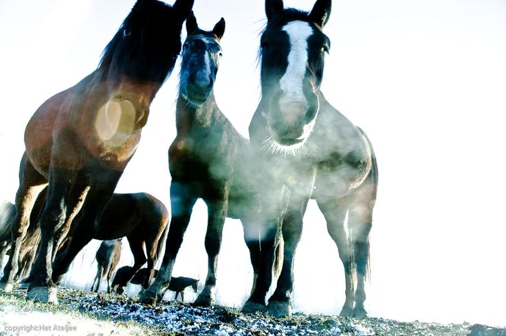 Horses,  The Doort is a nature reserve situated on the border between Central and South Limburg.
