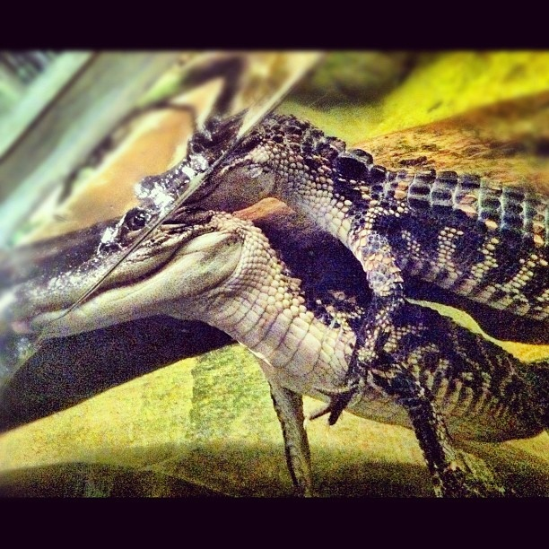 Baby alligator hug!