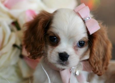 Cavalier King Charles Spaniel Puppy For Sale #puppy #spaniel #sale #forsale