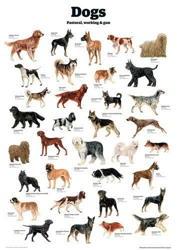 Dogs - Pastoral working & gun by Guardian Wallchart
