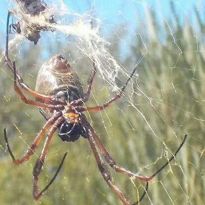 Beautiful Golden Orb spider