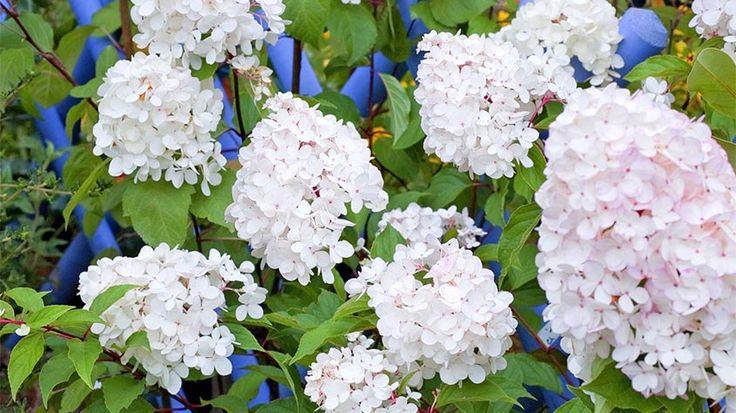 Une taille très sévère assure à l'hortensia 'Vanille fraise' une floraison sans pareil. Comment bien tailler cet arbuste pour le voir fleurir abondamment.
