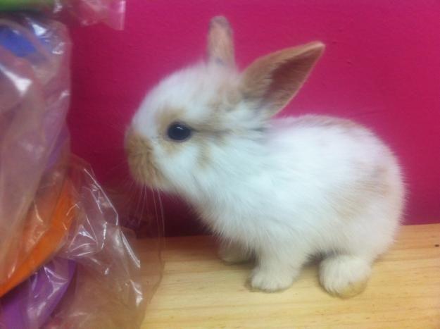 holland lop baby bunnies for sale little wonders pinterest holland lop baby. Black Bedroom Furniture Sets. Home Design Ideas