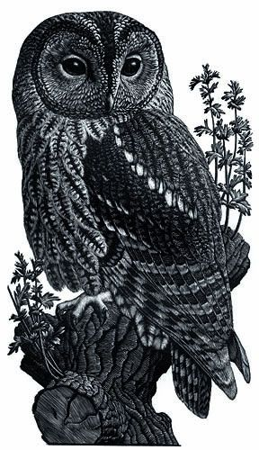 Tawny Owl by Charles F. Tunnicliffe