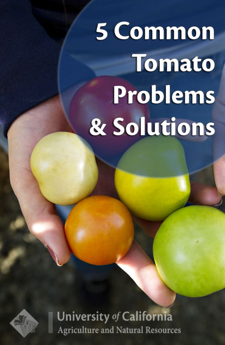5 tips for common tomato growing problems and solutions  from UC Master Gardener Program.