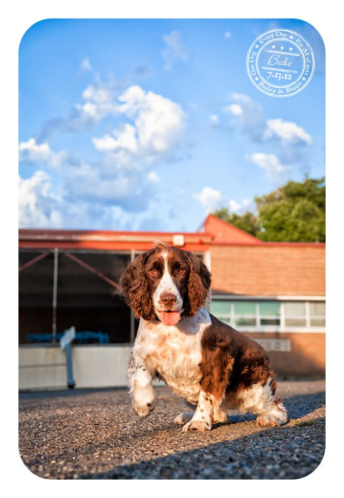 Babe - July 13 - Springer Spaniel who will be available for adoption soon. Click post for more details.: July 13, Dogs A Day, Click Posts, Beautiful Babes, Canin Cancer, Springer Spaniels